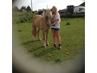 Welsh Section C, 13.2hh Gelding. Palomino coloured. 7yrs.