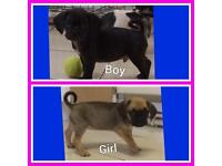 F2 PUGGLE PUPPIES READY ONLY 2 LEFT