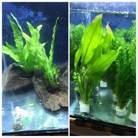 Live tropical aquarium plants