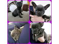 kc reg French bulldog puppies