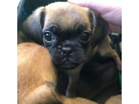 Jug X Puggle puppies for sale