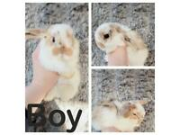 Mini lop baby rabbits