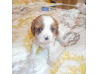 Cavalier king charles puppy Blenheim