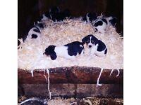 Beaglehound puppies