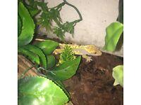 gecko crest lizard + setup