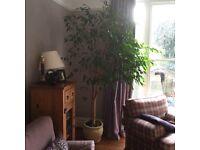 2.2m weeping fig indoor tree, with pot