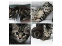 Tabby boy kitten for sale only 1 left