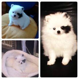 lovely pomeranian puppy for sale