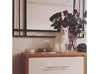 Turkish Angora Cat (Female, Neutered)