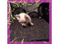 Beautiful chihuahua girl 1 left ready for new home