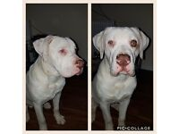 Stunning 10 month old American Bulldog
