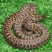 Childrens Python Hatchlings Howard Springs Litchfield Area Preview