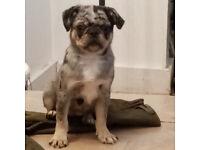 pug puppy male