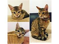 Stunning full pedigree kittens ( one girl is left)
