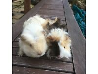 2 Baby Male long haired guinea pigs.