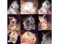 5 Baby Harlequin magpi rabbits