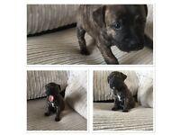 Beautiful staffy / staffie x pups
