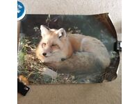 A Friends of Nature International Photograph - #19 Red Fox (Adult)
