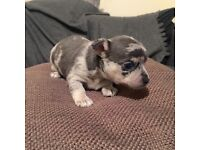 Beautiful merle female chihuahua ( ready in 2 weeks) ( price reduced