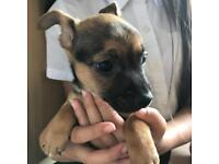 Chihuahua x Jack Russell Puppy