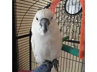 Cockatoo and cage £1200
