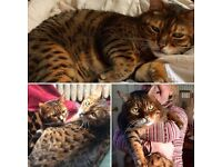 Missing Bengal cat in The Grange, Edinburgh