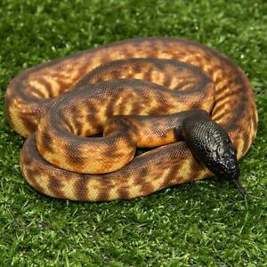 Black Headed Python Female Hatchling Howard Springs Litchfield Area Preview