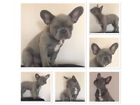 kennel club registered French bulldog puppies ready to leave