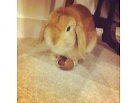 Mini Lop Rabbit For Sale
