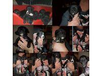 Old Tyme Bulldog x Labrador (Bullador) Puppies