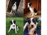 Greyhound x Bull pup for sale