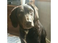 Chocolate Labradoodle, with great sadness that our 4 year old boy has to find a new loving home