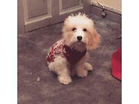 Cavachon puppy, 7 months