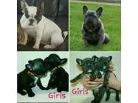 French Bulldog Puppy/Puppies