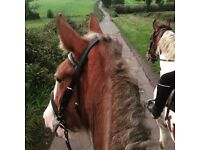 16.1hh Mare for part loan