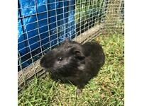 Male GuineaPigs.