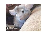 Beige chinchilla for sale with cage and food