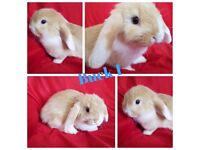 Beautiful 7 week old Mini Lop Bunnies Rabbit - Liverpool (Bootle)