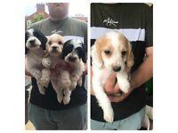 spaniel cross pups ready now