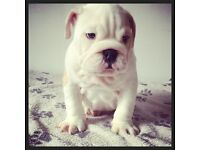 Male bulldog pups for sale READY NOW