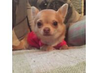 Beautiful 7 month old Chihuahua Female
