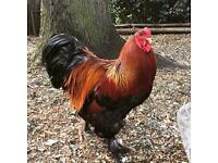 Gold partridge Brahma cockerel