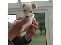 Last female Jackrussel puppy left ready now