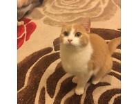 Female Ragdoll Cross Kitten