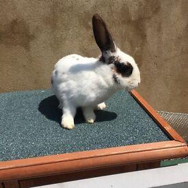 White and Black Furred Rabbit