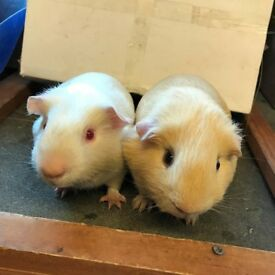 Two Young boar (boys) guinea pigs - £30 for the two