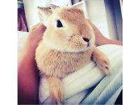 Neatherland Dwalf baby rabbit