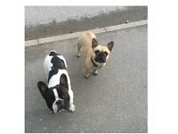 ***STUNNING FRENCH BULL DOG PUPPIES FOR SALE NORTH WEST***