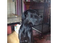 Great Dane male 2 years old