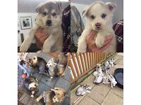 German Shepherd x Malamute x Siberian Husky Puppies